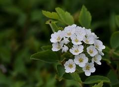 Bridal Wreath Spirea (jmunt) Tags: gardenflower flower spirea bridalwreath