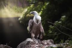 2019-06-13_08-42-45 (kkok1979) Tags: gypsfulvus gänsegeier geier griffonvulture vulture animal canon canonart canoneos100d tamron70300