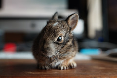 Robbi (silver_ring) Tags: rabbit kit baby bunny wild rescue animal furry small