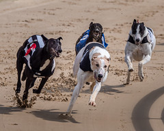P5278654-Edit.jpg (Almyk) Tags: racing henlow greyhounds
