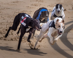 P5278656-Edit.jpg (Almyk) Tags: racing henlow greyhounds
