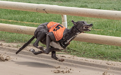 P5278714.jpg (Almyk) Tags: greyhounds henlow racing