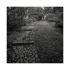 Botanical garden, Aarhus (DK) (K.Pihl) Tags: cobblestones mediumformat 6x6 blackwhite distagon50mmf40 rodinal150 film kodaktrix400 hasselblad500cm monochrome mittelformat pellicolaanalogica park bw schwarzweiss analog steps
