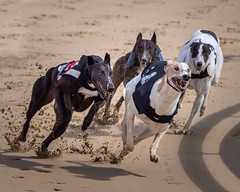 P5278655-Edit.jpg (Almyk) Tags: racing henlow greyhounds