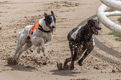 P5278760.jpg (Almyk) Tags: greyhounds henlow racing