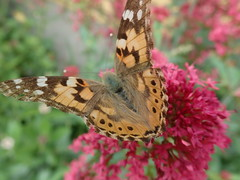 Butterflies everywhere at the moment (Landanna) Tags: butterfly vlinder sommerfugl insect insekt