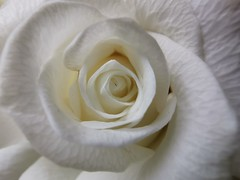 Beautiful white rose (janettehall532) Tags: whiterose rose rosephotography petals flowerpetals white colour flowers flowerphotography bloom flowersandcolours naturephotography nature pretty huaweip30pro huawei flickr flickrcentral floral blossom blooming macrophotography macroflowers macro closeupshot closeupphotography photography photographylovers photo pic beautyinnature beautiful colourwhite
