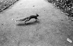 Squirrel Motion (Mano Green) Tags: squirrel park peasholme british wildlife animal blur motion scarborough town yorkshire england uk summer september 2016 canon eos 300 40mm lens ilford hp5 400 35mm film ilfosol s epson perfection v550 black white landscape street