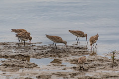 Bar-tailed godwits -migratory birds in the river (Merrillie) Tags: waterbirds natural nature australia birds tilligerrycreek native animal portstephens wildlife bartailedgodwit pair bird animals fauna mallabula migratory karuahriver