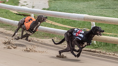 P5278712.jpg (Almyk) Tags: greyhounds henlow racing