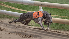 P5278713.jpg (Almyk) Tags: greyhounds henlow racing