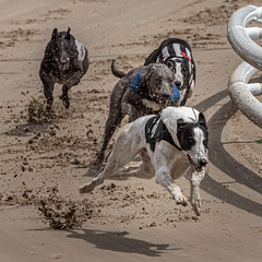 P5278755.jpg (Almyk) Tags: greyhounds henlow racing
