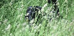 BLACK LAB IN THE BUSH...PRICELESS, ACA PHOTO (alexanderrmarkovic) Tags: blacklab jazz acaphoto dog retriever labradorretriever