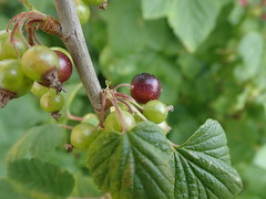 the colouring has started! (Landanna) Tags: blackcurrants fruit growyourown