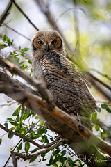 Still Fuzzy (RH Miller) Tags: rhmiller reedmiller wildlife bird greathornedowl owl fledged idaho usa