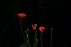 Poppy (Anne K.R. Photography) Tags: poppy flower flowers red canon eos 760d canoneos760d 50mm lowkey anne annekr