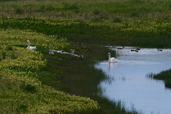 Famille  cygne tuberculé (cygnus olor) (pierre.pruvot2) Tags: oiseau swan cygne eau étang marais water bird france pasdecalais oyeplage platierdoye panasonic lumix leica g9