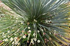 DSC_1052 (griecocathy) Tags: macro plante fleur vert blanc jaune rose