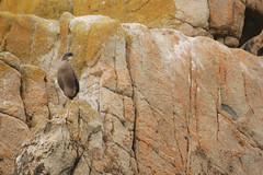 Cormoran huppé - Phalacrocorax aristotelis (Enora Gonidec) Tags: sea bird cormoran huppé