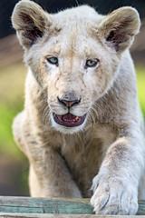 Cub climbing (Tambako the Jaguar) Tags: lion big wild cat white young cub climbing walking portrait face cute openmouth lionsafaripark johannesburg southafrica nikon d5