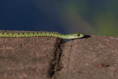 Spotted Bush Snake (Ben Locke.) Tags: spottedbushsnake snake reptile wild wildlife nature africa southafrica