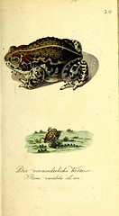n80_w1150 (BioDivLibrary) Tags: naturalhistory smithsonianlibraries pictorialworks bhl:page=47261665 dc:identifier=httpsbiodiversitylibraryorgpage47261665 frogs amphibians