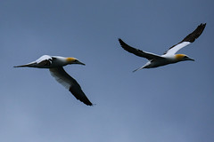 Gannets (mike_wawro) Tags: lewis