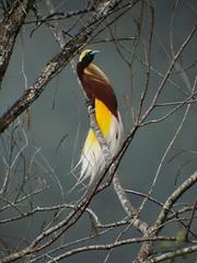 Lesser Bird-of-paradise Paradisaea m. minor (nik.borrow) Tags: bird birdofparadise minambavalley