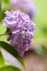 Hydrangea (brandon_gerringer) Tags: hydrangea flower flowerphotography nature naturephotography pink pinkflower purple green canon tamron bokeh macro macrophotography