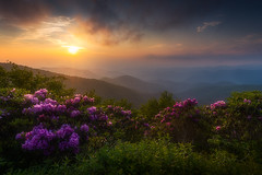 Rhododendron Dreamland - 1513 (J & W Photography) Tags: 2019 appalachia appalachianmountains blueridgeparkway craggygarden craggygardenpinnacle jwphotography bloom dusk flower foggy landscape mountains nature rhododendron southeast summer sunset tree