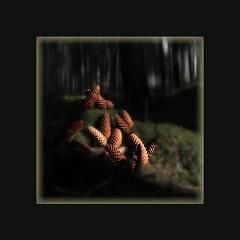 """""""Scharzwälder Tannenzapfen"""" - Unterbränd 2019 (roger gabriel simon) Tags: schwarzwald photography forêtnoire sapin tannen tannenzapfen pommesdepin canonpowershotg5x forest blackforest trees nature unterbränd dittishausen peintureélectronique arbres flickr pinecone naturemorte stilllife stillleben light lumière clairobscur licht"""