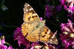 Tidselsommerfugl (Steenjep) Tags: blomst flower macro makro closeup sommerfugl tidselsommerfugl butterfly paintedlady vanessacardui