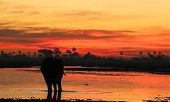 Sunrise over the lagoon - Abu Concession - Delta of Okavango - Botswana (lotusblancphotography) Tags: africa afrique botswana okavango nature wildlife faune animal elephant éléphant sunrise aurore water eau lagoon lagon reflection reflet sky ciel clouds nuages