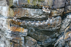 Kittiwakes (mike_wawro) Tags: lewis