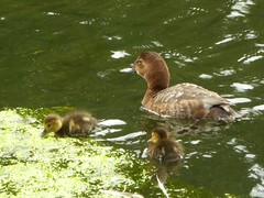Pochard - mum and ducklings (JuliaC2006) Tags: bird duck pochard ducklings aythyaferina