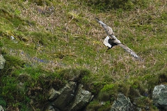 White-tailed Eagle (mike_wawro) Tags: lewis