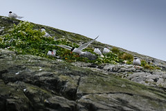 Arctic Tern Colony (mike_wawro) Tags: lewis