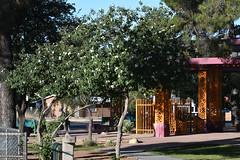 Texas Olive, Cordia boissieri (Dave Beaudette) Tags: boraginaceae texasolive cordiaboissi reidpark tucson pimacounty arizona