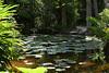 3TR_7030 (terrificphotos) Tags: waterlilies lotus rainboweucalyptus dragonfly lizard water bamboo flowers lilypads chenilleplant