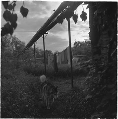 Scan-190612-0009 (Oleg Green (lost)) Tags: twilight provincerussia bw 120film ilford tlr seagull4a103 triplet3575 rodinal husky dog summer xp2