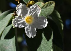 Texas Olive, Cordia boissi (Dave Beaudette) Tags: boraginaceae texasolive cordiaboissi reidpark tucson pimacounty arizona