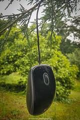 Hanging Mouse I (boettcher.photography) Tags: maus computermaus mouse computermouse hanging erhängt germany deutschland sashahasha boettcherphotography boettcherphotos