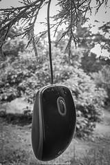 Hanging Mouse II (Black & White) (boettcher.photography) Tags: maus computermaus mouse computermouse hanging erhängt blackwhite monochrome schwarzweiss schwarzweis germany deutschland sashahasha boettcherphotography boettcherphotos