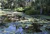 3TR_7022 (terrificphotos) Tags: waterlilies lotus rainboweucalyptus dragonfly lizard water bamboo flowers lilypads chenilleplant