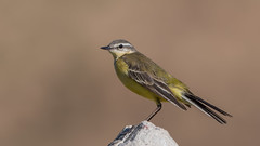 Yellow wagtail (JS_71) Tags: nature wildlife nikon photography outdoor 500mm bird new spring see natur pose moment outside animal flickr colour poland sunshine beak feather nikkor d500 wildbirds planet global national wing eye watcher