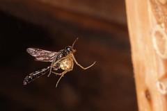 Grabwespe mit Spinne (JS Highspeed Photography) Tags: grabwespe wasp highspeed fuji xe3 tessar spinne spider insektenhotel bienenhotel trypoxylon spec