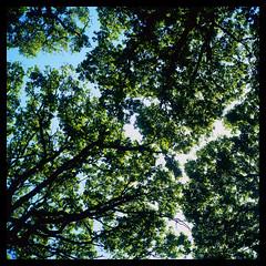 Ruislip Woods Canopy (Jamie Langford) Tags: rolleiflex velvia50 120film ruislipwoods
