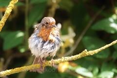 European robin , Erithacus rubecula (1) (Geckoo76) Tags: europeanrobin erithacusrubecula robin