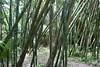 3TR_7034 Bamboo (terrificphotos) Tags: waterlilies lotus rainboweucalyptus dragonfly lizard water bamboo flowers lilypads chenilleplant