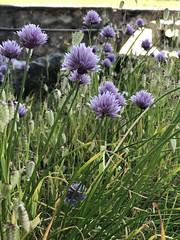 #fleurs #magnifique #photo #iphone8plus #appareilphoto #paysage (d.lignier) Tags: fleurs magnifique photo iphone8plus appareilphoto paysage